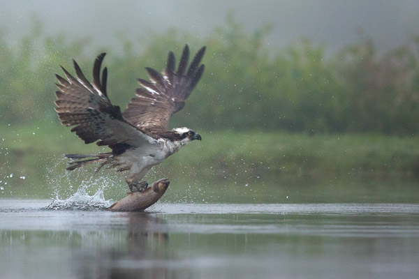osprey_fishing_in_the_mist_3.jpg