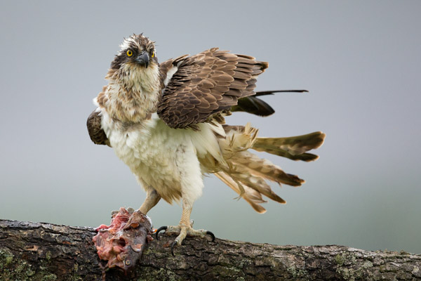 osprey_in_the_wind_2.jpg