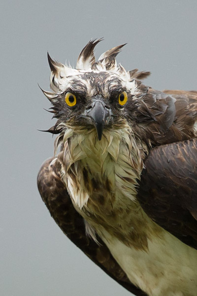 osprey_in_the_wind_3.jpg