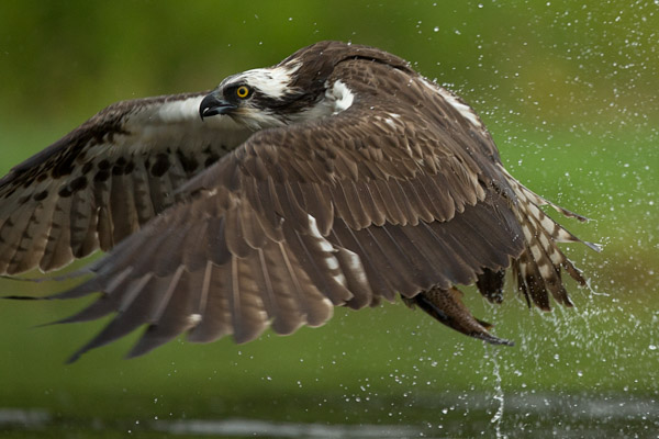 osprey_too_close.jpg