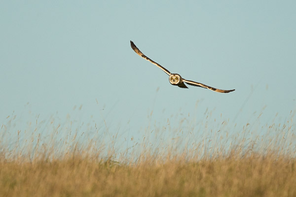 short_eared_owl_on_ridge.jpg