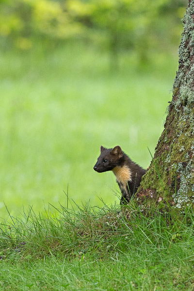 pine_marten_base_of_tree-1.jpg