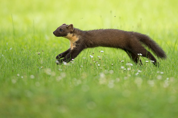 pine_marten_in_the_grass-1.jpg