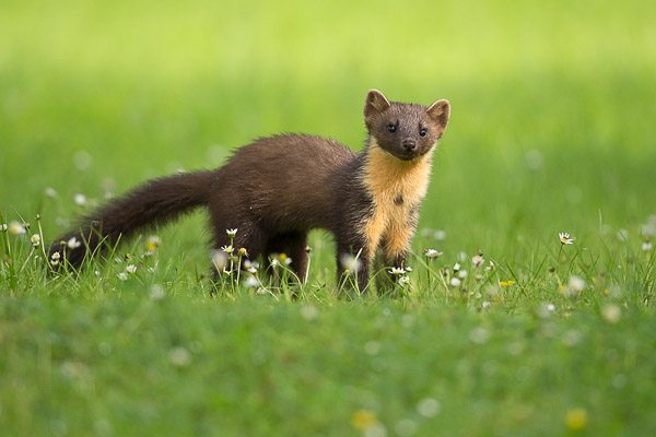 pine_marten_in_the_grass-2.jpg