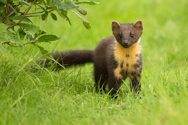 pine_marten_in_the_grass-3.jpg