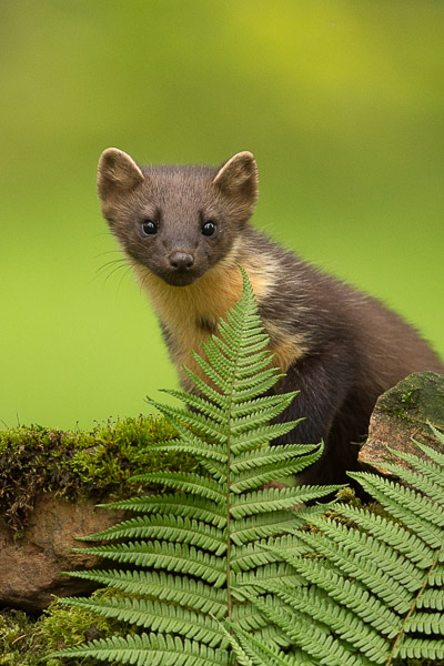 pine_marten_peering_over_wall.jpg