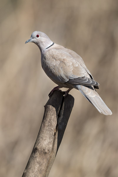 collared_dove-1206.jpg