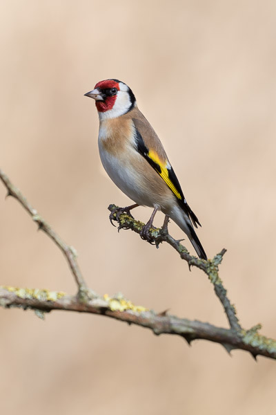 goldfinch-1193.jpg