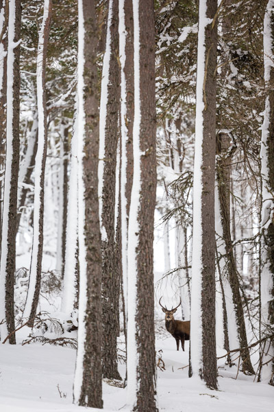 red_deer_stag_in_caledonian_pine_forest.jpg