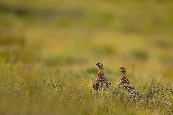 red_grouse_pair.jpg