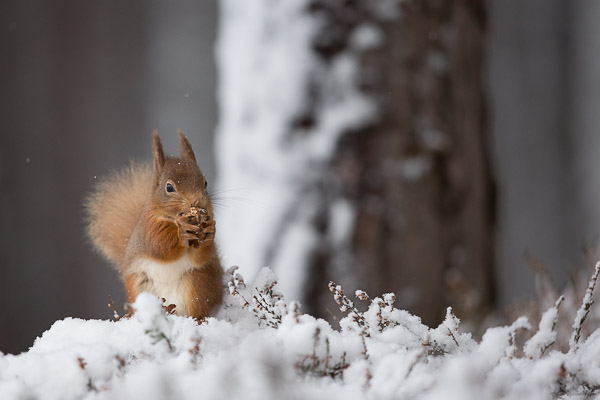 squirrel_in_snow_covered_heather.jpg