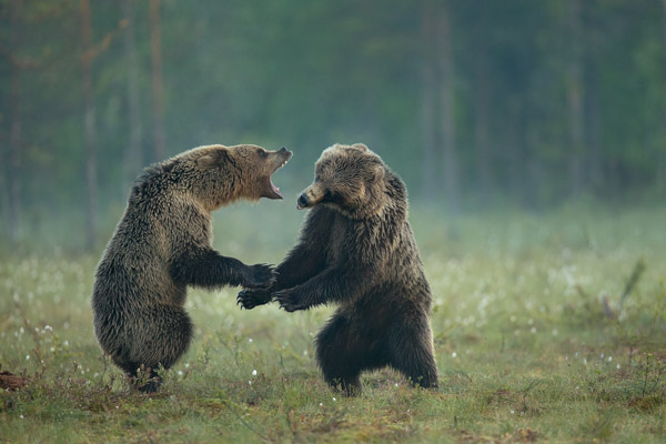 fighting_brown_bears.jpg