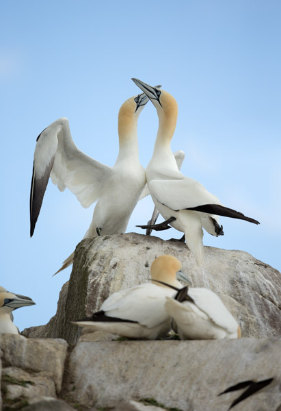 displaying_gannets.jpg