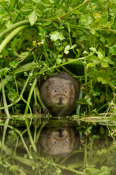 watervole_amongst_the_cress.jpg