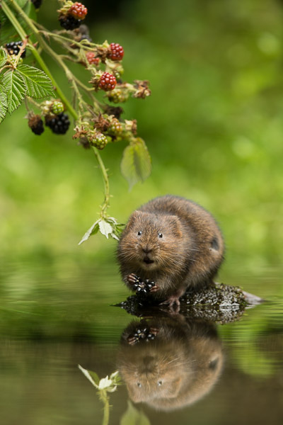 watervole_eating_blackberry.jpg