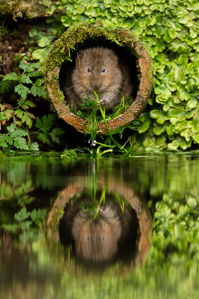 watervole_eating_in_water_pipe.jpg