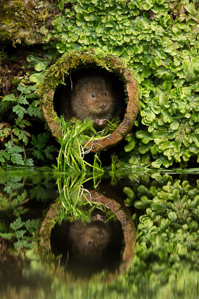 watervole_in_water_pipe.jpg