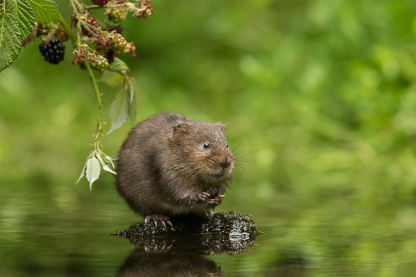 watervole_sitting_eating_a_blackberry.jpg