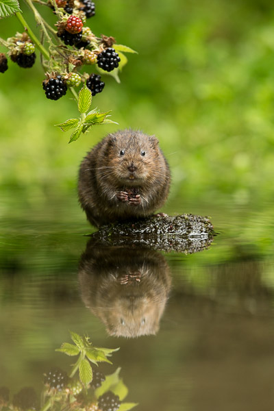 watervole_with_blackberry.jpg