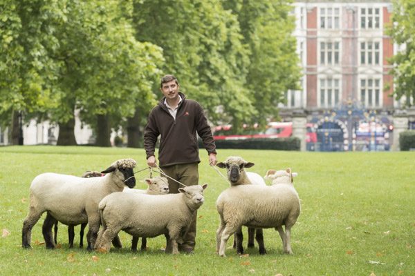 royal_parks_st_james_sheep-7144.jpg