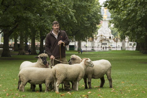 royal_parks_st_james_sheep-7212.jpg