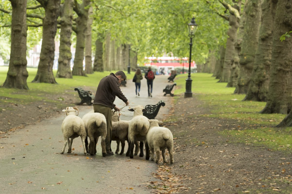 royal_parks_st_james_sheep-7227.jpg