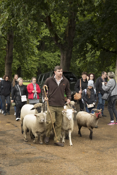 royal_parks_st_james_sheep-7429.jpg