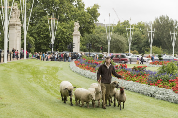 royal_parks_st_james_sheep-7552.jpg