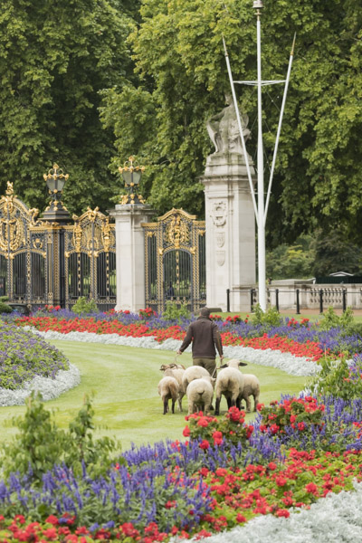 royal_parks_st_james_sheep-7693.jpg