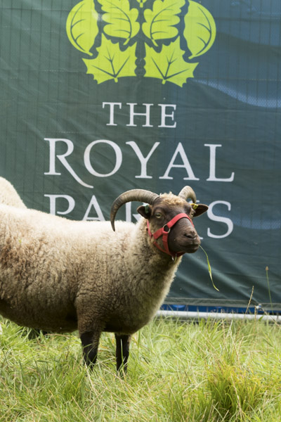royal_parks_st_james_sheep-7989.jpg