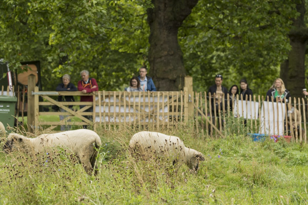 royal_parks_st_james_sheep-8066.jpg
