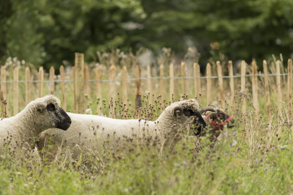 royal_parks_st_james_sheep-8091.jpg
