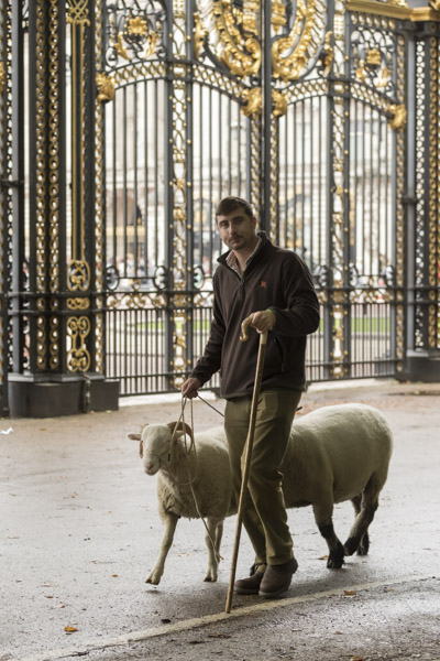 royal_parks_st_james_sheep-8126.jpg