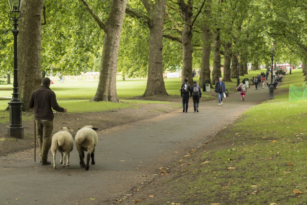 royal_parks_st_james_sheep-8162.jpg