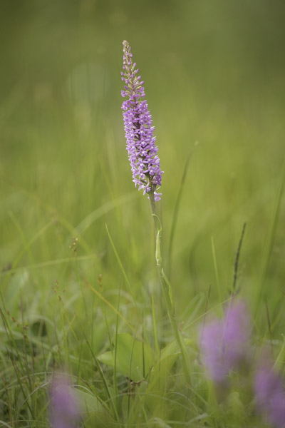 common_fragrant_orchid-2235.jpg