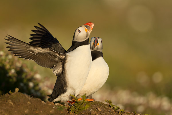 puffin_displaying.jpg