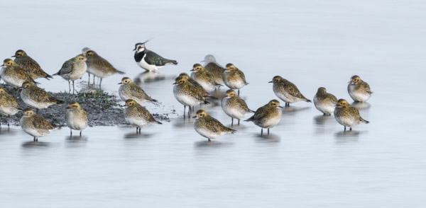 lapwing_amongst_the_grey_plover-5136.jpg