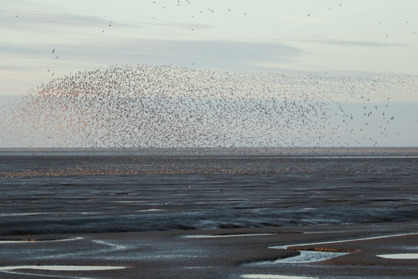 flocks_of_knott_at_snettisham-2.jpg