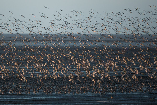 flocks_of_knott_at_snettisham-3.jpg