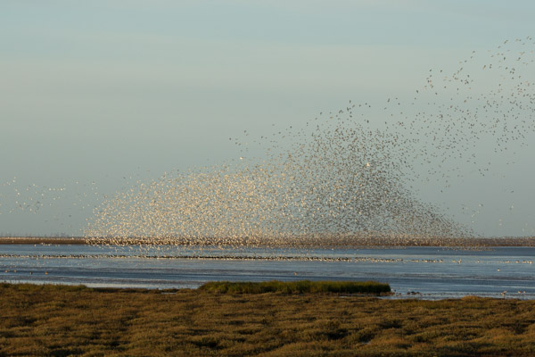 flocks_of_knott_at_snettisham-4.jpg