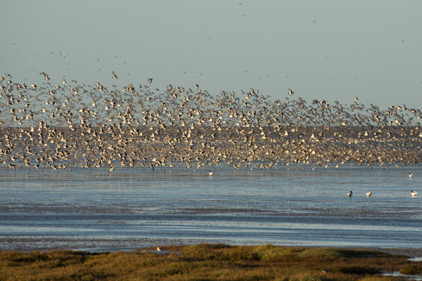 flocks_of_knott_at_snettisham-5.jpg