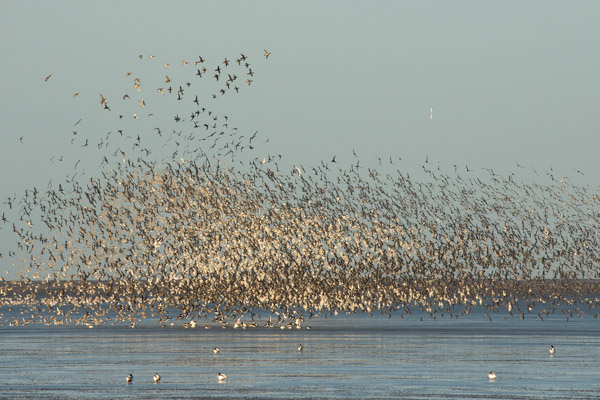 flocks_of_knott_at_snettisham-6.jpg
