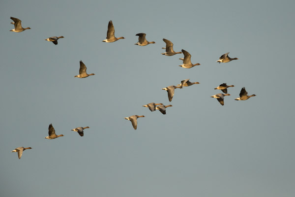 wild_ducks_at_snettisham-1.jpg