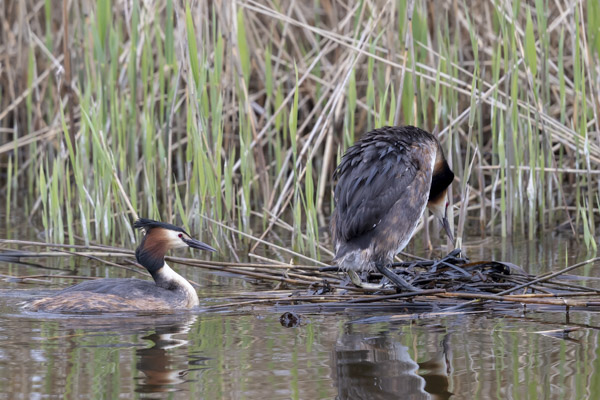 great_crested_grebe-3513.jpg