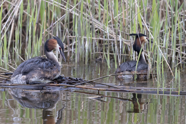 great_crested_grebe-3577.jpg