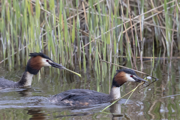 great_crested_grebe-3627.jpg