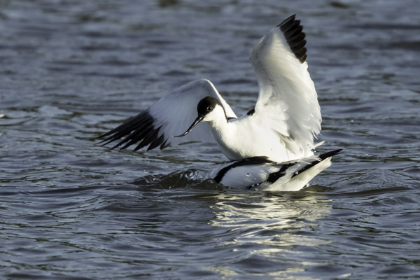 fighting_avocets-6489.jpg