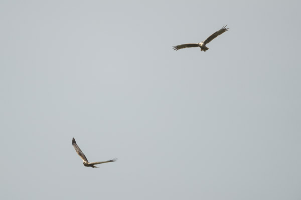 marsh_harrier_pair-3426.jpg