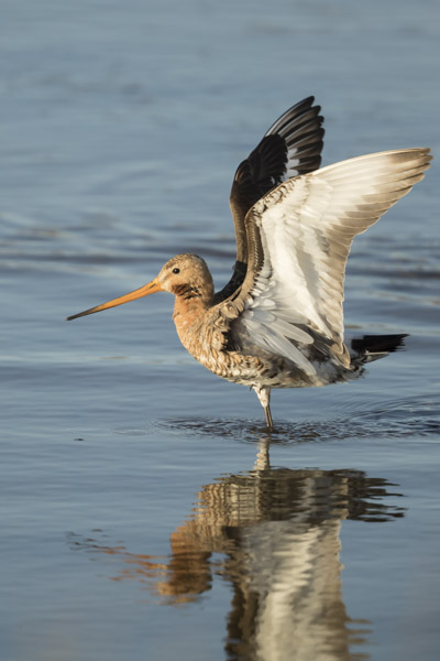 bar-tailed_godwit-5892.jpg