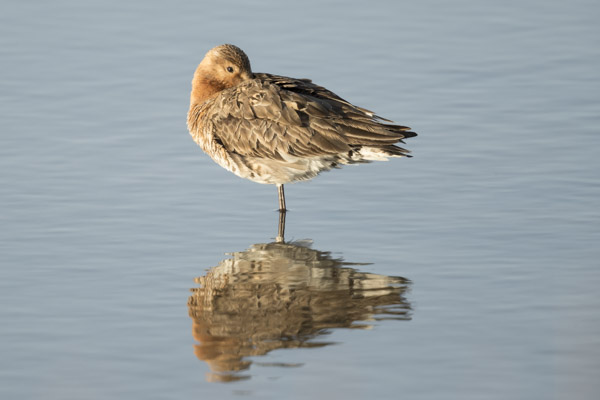 bar-tailed_godwit-5911.jpg